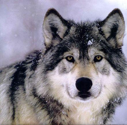 01ae5c3e9f6e1d153184b24c891ce115--wolf-face-gray-wolf