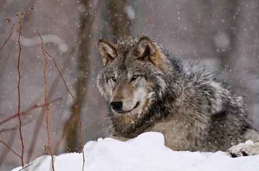 1-timber-wolf-in-winter-michael-cummings