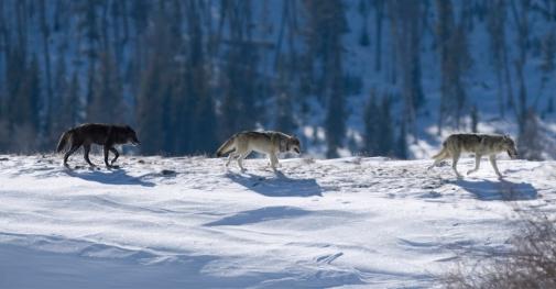 1-Wolves-photo-istock