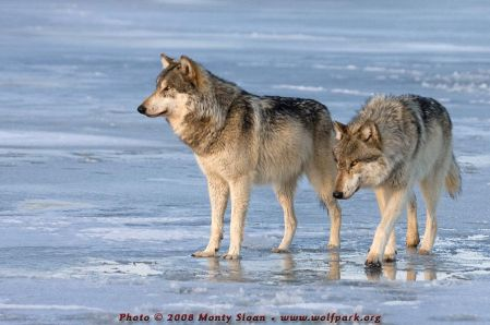 109-wolfgang-and-wotan-on-blue-ice-illuminated-by-golden-hour-light