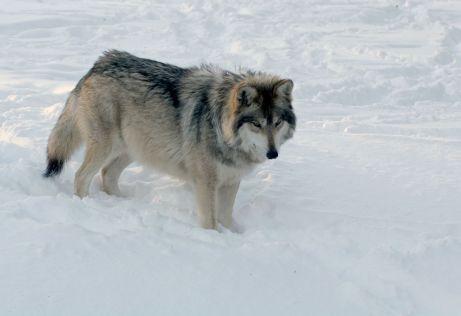 1280-172156130-wolf-in-winter