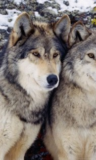 16559_winter-wolves-wallpapers-hd-wallpaper-backgrounds-of-your-choice_1440x900_h