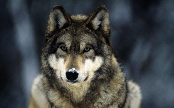 166463-wolf-748x468