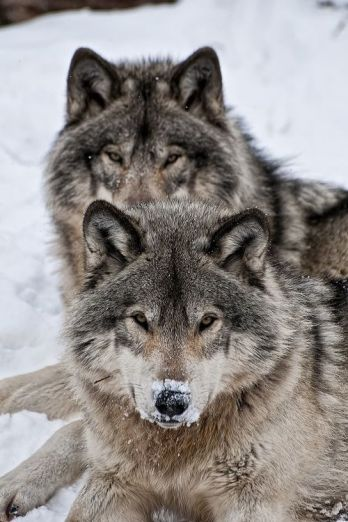 181c2aa7df56b98c2c8fa5f029d96bda--bad-wolf-timber-wolf