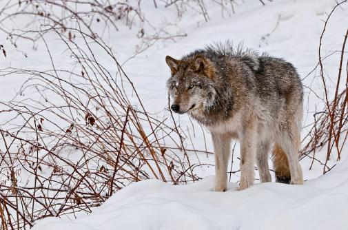 2-timber-wolf-in-winter-michael-cummings