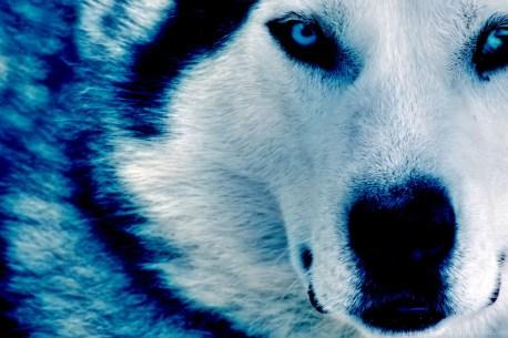 249350_3071-winter-wolf-photo-wallpapers-walops-com_2816x1880_h