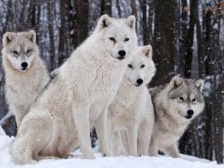 264910_wolves-family-nature-winter-wallpaper-wolves-hd-wallpaper-family_2560x1600_h