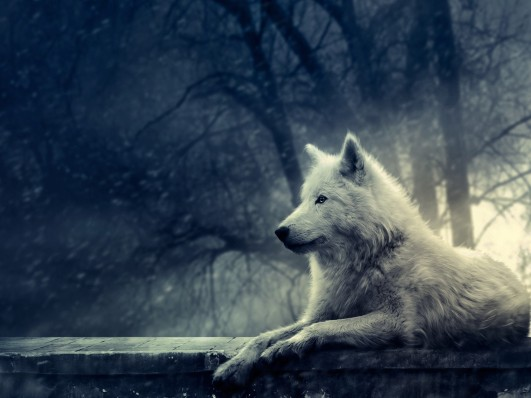 43_Resting_White_Wolf