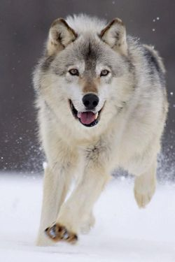 4e347c36018453ac70a6fcd45c679888--grey-wolves-gray-wolf