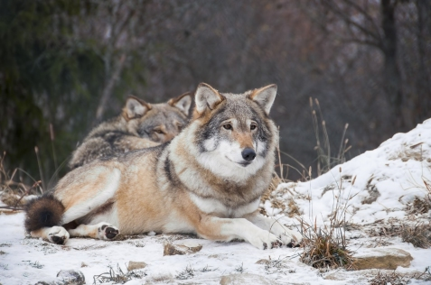 Resting wolves