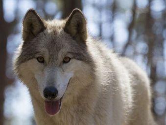 636268439671133400-wolfdogs1