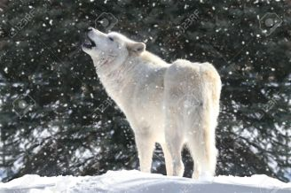 8646496-white-timber-wolf-canis-lupus-howling-in-a-snow-storm