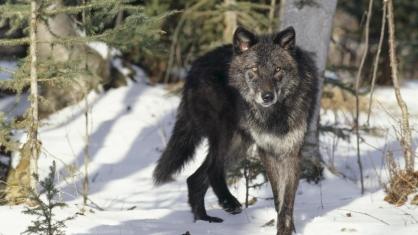 87-coyote-snow-wildlife-fauna-1920x1080