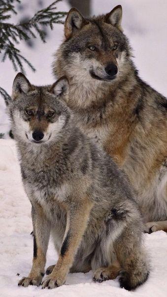 88b8a31859b53b4bcc1af7696fb0a564--timberwolf-raven