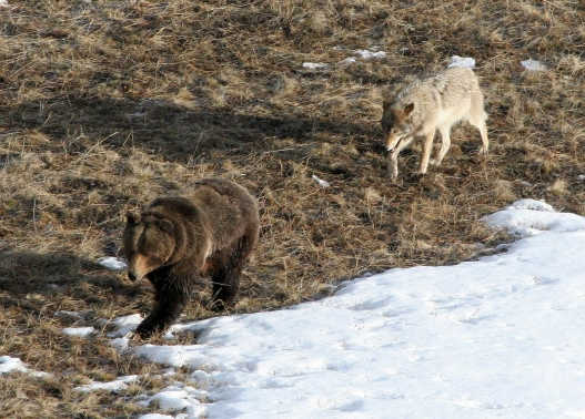 Leopold wolf following grizzly bear; Doug Smith; April 2005