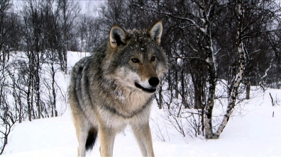 amazing-gray-wolf-image-06