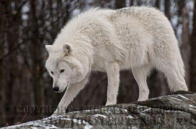 an-arctic-wolf-in-winter-coat