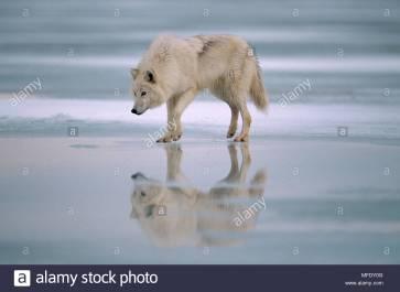 arctic-or-tundra-wolf-canis-lupus-mackenzii-on-ice-covered-tundra-MFDY0G