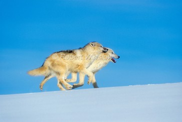 """""""Two Arctic Wolves, Canis lupus arctos, Running, Snow, Winter, controlled conditions"""""""