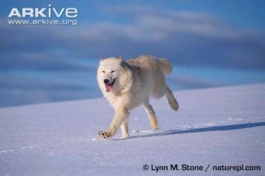 Arctic-wolf-running-in-snow