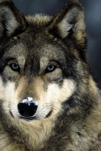 blue-eyes-snow-landscapes-grey-wolf-wolves-640x960-wallpaper