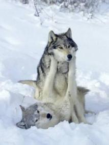 daniel-j-cox-gray-wolves-show-of-dominance-among-pack-montana_u-L-Q10RFWZ0