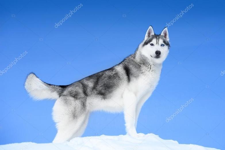 depositphotos_101473252-stock-photo-siberian-husky-on-snow