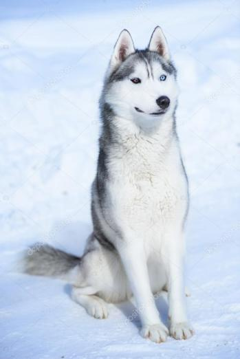 depositphotos_103701832-stock-photo-siberian-husky-on-snow