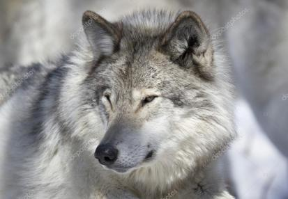 depositphotos_94055654-stock-photo-face-of-gray-wolf