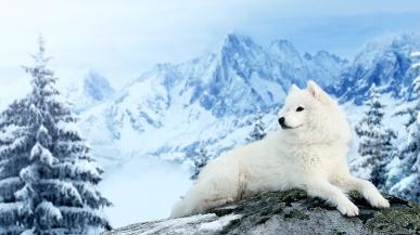 Dogs_Winter_SamoyedWhite_454267