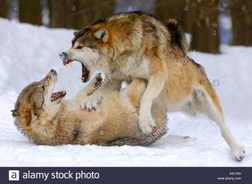 fighting-wolves-in-winter-canis-lupus-occidentalis-A0J1MJ