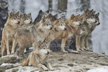 focused_203707902-stock-photo-group-wolves-winter-forest
