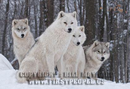 four-arctic-wolves