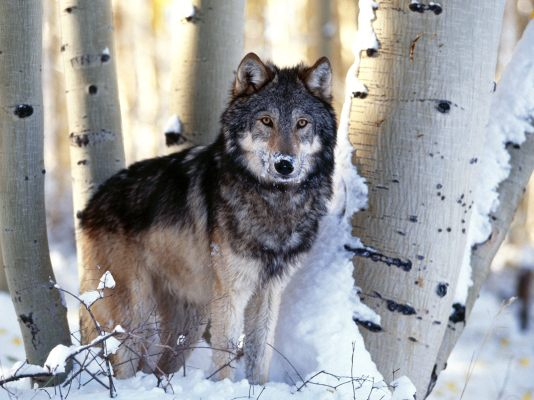 gray-wolf-forest-in-winter-kewl