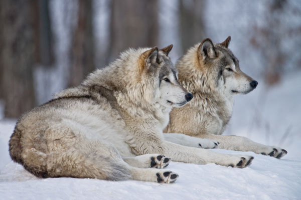 Two Gray Wolves lying down in the snow.
