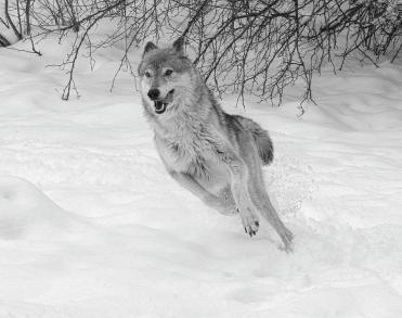 grey-wolf-in-winter-steve-mckinzie