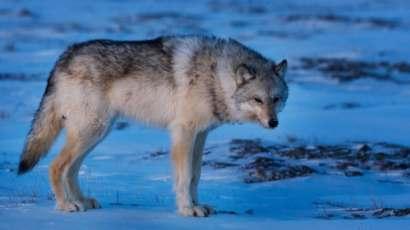 hi-lone-wolf-cp