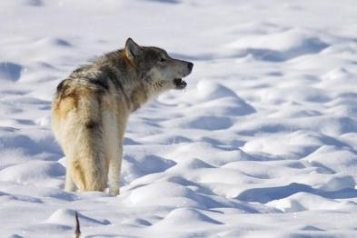 howling-wolf-snow