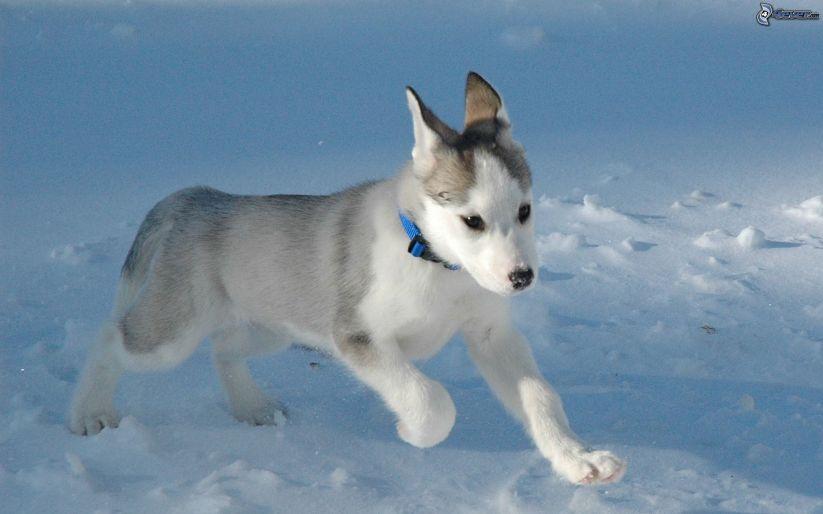 husky-puppy,-snow,-collar-148513