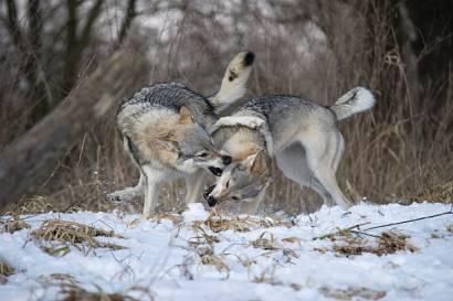 Playful Czechoslovakian Wolfdogs in snowy winter landscape.