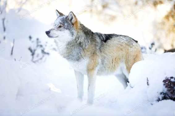 K78A6330+-+Wolf+in+winter+03