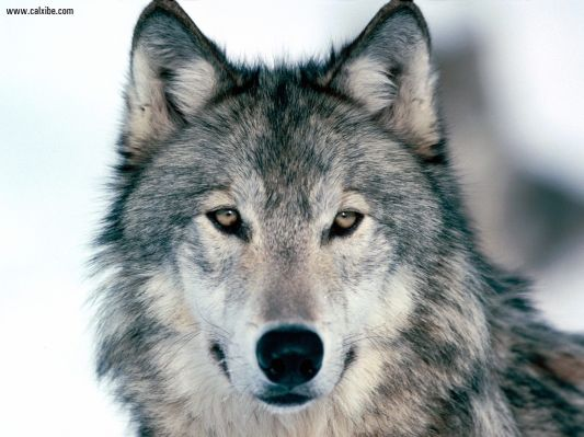 Look_Into_My_Eyes_Winter_Wolf