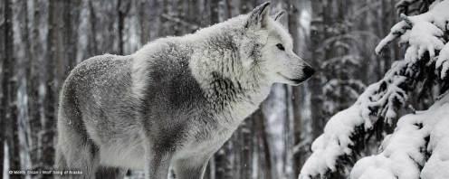 MontySloan-WolfSongofAlaska-3