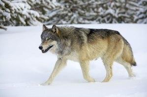 north_america_usa_trip_ultimate_wolf_wildlife_wolf_gallery
