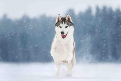 siberian-husky-wallpapers-56100-9734370