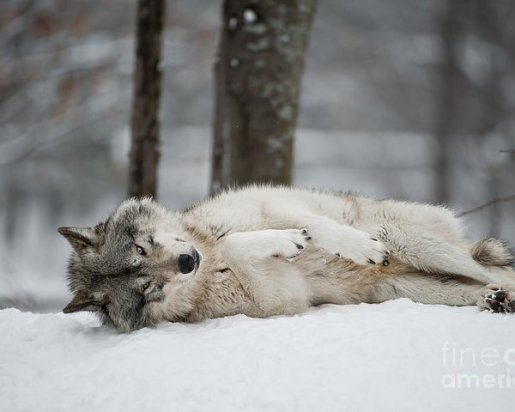timber-wolf-in-winter-wolves-only