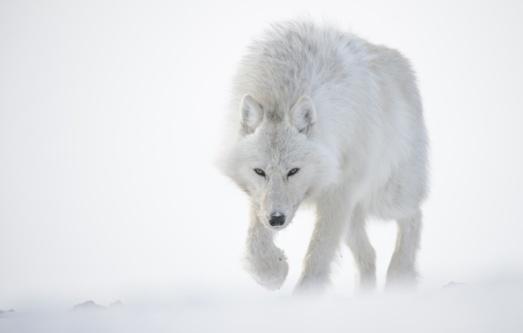 volk-poliarnyi-belyi-sneg