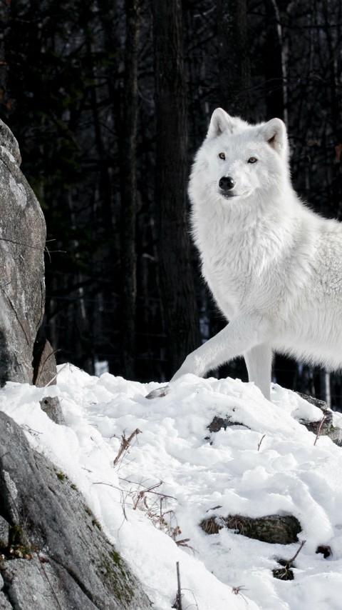 white-wolf-majestic-winter-rock-snow