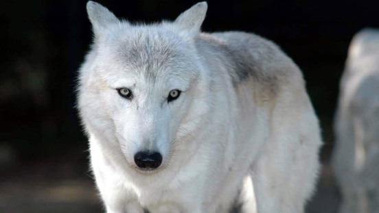 white-wolf-wallpaper-1366x768