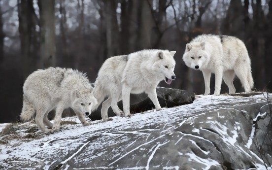 white-wolves-on-a-rock-in-the-forest-50458-2560x1600